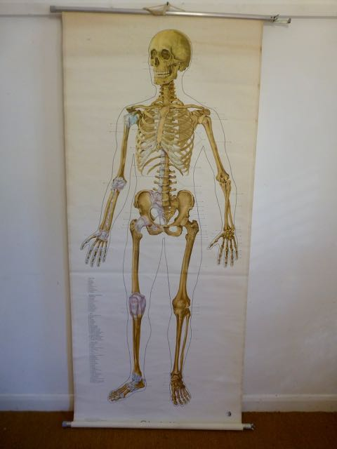 Picture of Anatomical Skeleton