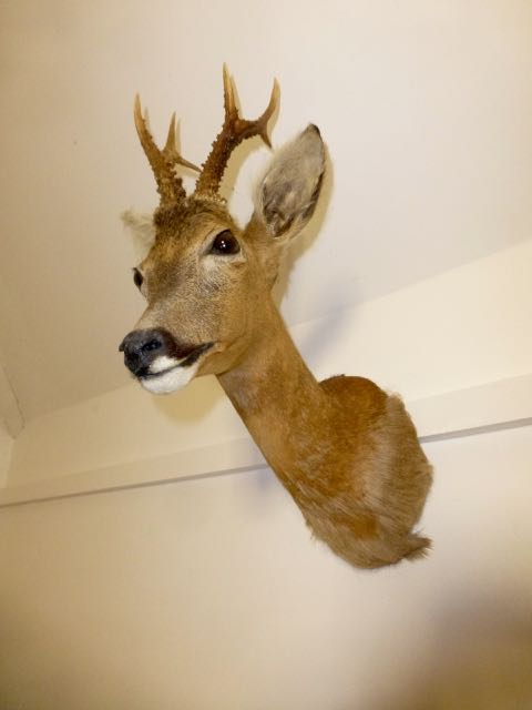 Picture of Islay Roebuck head